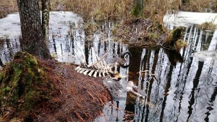 W Puszczy Białowieskiej znaleziono martwego żubra. Zostały tylko głowa i kości
